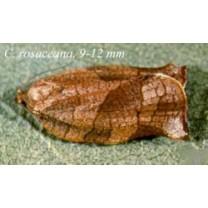 Obliquebanded Leafroller